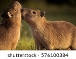 Young Capybaras Playing. Young...