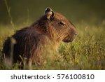 Young Capybara Young Capybara...