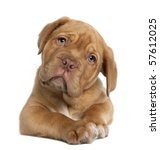 Dogue De Bordeaux Puppy  10...
