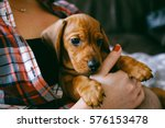 Stock photo  weeks old smooth hair brown dachshund puppy resting in the hands of its female owner in a 576153478