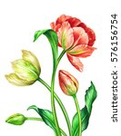 Watercolor Tulips  Botanical...