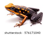Small photo of poison dart or arrow frog, Ameerega silverstonei. Orange poisonous animal from the Amazon rain forest of Peru. Isolated on white background.