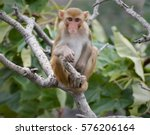 Indian Monkey Rhesus Macaque