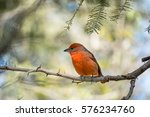 the red bird is in the branch | Shutterstock . vector #576234760