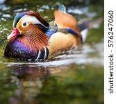 Small photo of Beautiful male Mandarin Duck (Aix galericulata)