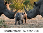two young baby rhinos play as... | Shutterstock . vector #576254218