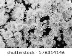 chrysanthemum background    in... | Shutterstock . vector #576314146