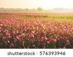 Cosmos Flower Field With Fog...