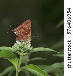 Small photo of Butterfly, Butterflies feed on the flower, Aberrant Silverline ( Cigaritis vixinga )