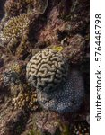 Small photo of Brain Coral on Great Barrier Reef - Agincourt Reef