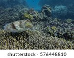 Small photo of Cuttlefish on Great Barrier Reef - Agincourt Reef