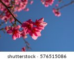 soft focus cherry blossom or... | Shutterstock . vector #576515086