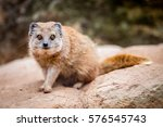 view of the yellow mongoose | Shutterstock . vector #576545743