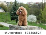 Brown Poodle Dog On Rock