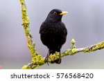 Male Of Common Blackbird....
