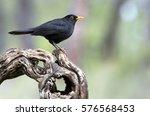 Male Of Common Blackbird....