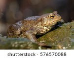 The Common Toad  European Toad...