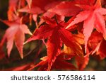 Beautiful Autumn Red Leaves In...
