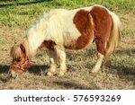 miniature horse eat grass.