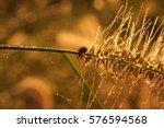 ladybug on grass after rain. | Shutterstock . vector #576594568