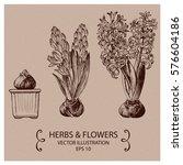 hyacinth flowers. hand drawn... | Shutterstock .eps vector #576604186