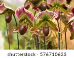 paphiopedilum villosum. ... | Shutterstock . vector #576710623