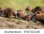 coypu  myocastor coypus  czech... | Shutterstock . vector #576722128