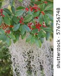 Holly Berries On Branches With...