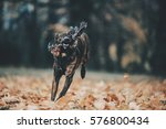 dog in autumn leaves | Shutterstock . vector #576800434