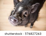 Cute Little Black Pig