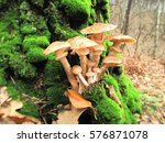 Mushrooms. Ukraine Forest Is...