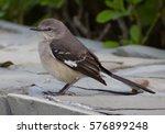 Small photo of Alder flycatcher in Dominicana Republic