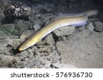 Small photo of Eel fish (anguilla anguilla) in the beautiful clean river. Underwater shot in the river. Wild life animal. Eel in the nature habitat with nice background.