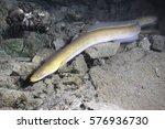 Eel Fish  Anguilla Anguilla  I...