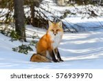 Red Fox Male Sitting On Snow I...