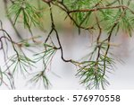 pine needles on the branches in