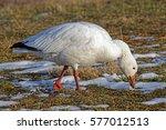 A Snow Goose Feeding On Grass...