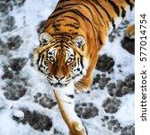 Beautiful Amur Tiger On Snow....