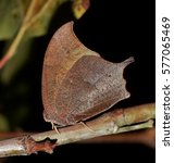 Goatweed Leafwing Butterfly ...