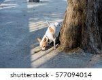 Chihuahua Dog Urinating Under ...