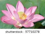 A Pink Lotus