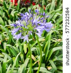 Small photo of Bright blue Agapanthus africanus or African lily flower and green leaves background