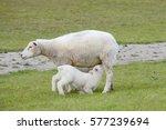 sheep suckling lamb on pasture | Shutterstock . vector #577239694