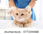 Stock photo red tabby cat in vet clinic 577244488