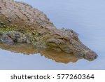 the saltwater crocodile ... | Shutterstock . vector #577260364