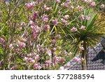 beautiful pink blooming of...   Shutterstock . vector #577288594
