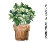 herbs in a flowerpot. parsley... | Shutterstock . vector #577321078