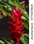 Small photo of Red Ginger (Alpinia purpurata) Nicaragua