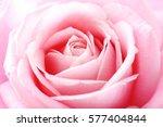 Stock photo beautiful pink rose background 577404844