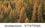 bright yellow larch tree forest ... | Shutterstock . vector #577475560